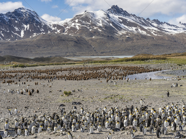 King Penguin (Aptenodytes patagonicus) on the island of South Georgia, rookery in Fortuna Bay.