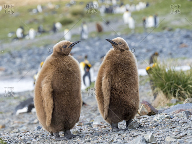 King Penguin (Aptenodytes patagonicus) on the island of South Georgia, rookery in Fortuna Bay. Chick in typical brown plumage.