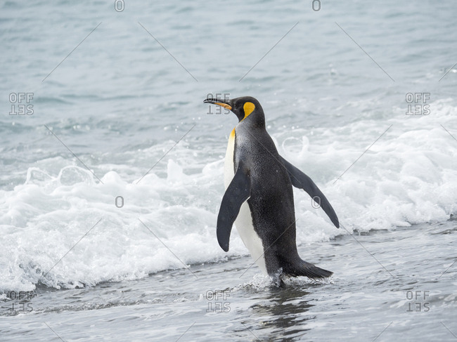 King Penguin (Aptenodytes patagonicus) on the island of South Georgia, the rookery on Salisbury Plain in the Bay of Isles. Adults entering the sea.