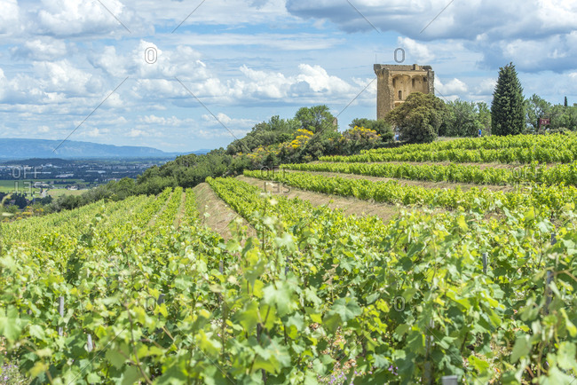 Vineyard, Rhone Valley, Ruins of castle, Chateauneuf du Pape, France, Europe