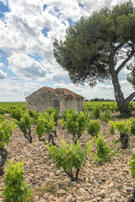 Vineyard, Chateauneuf du Pape, France, Europe