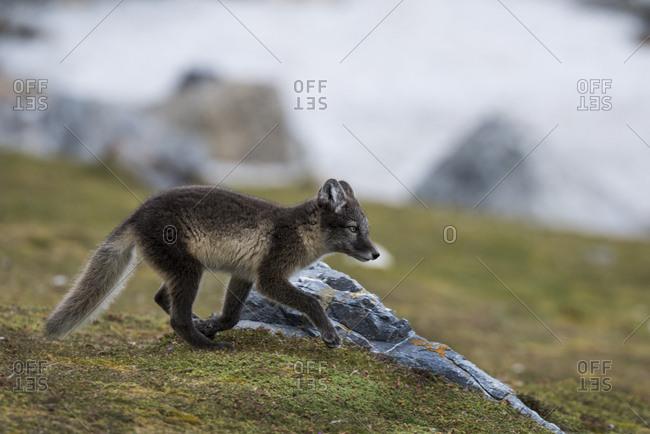 Norway, Svalbard, Spitsbergen. Hornsund, Gnalodden, arctic fox (Vulpes Lagopus) with summer coat.