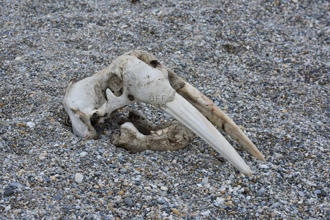 Norway, Svalbard, Nordaustlandet-Svalbard Nature Reserve, Torrellneset. Skull of an Atlantic walrus (Odobenus rosmarus rosmarus)