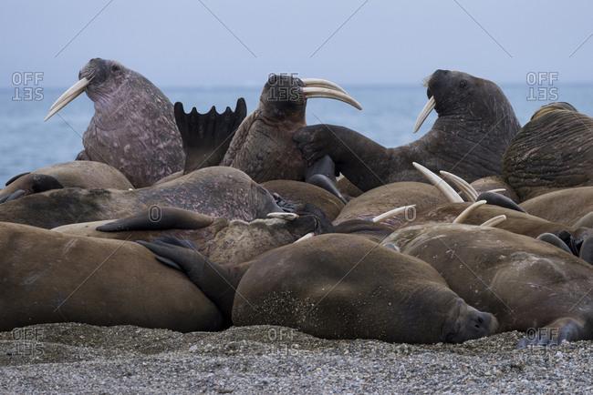 Norway, Svalbard, Nordaustlandet, Nordaust-Svalbard Nature Reserve, Torellneset. Male Atlantic walrus (Odovenus rosmarus rosmarus) hauled out on rocky beach.