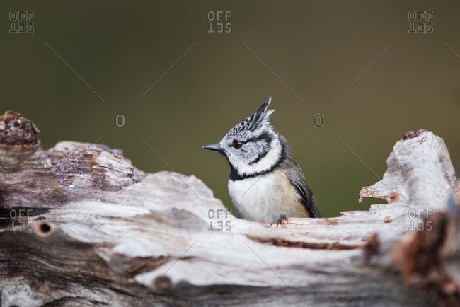Scotland- crested tit- Lophophanes cristatus