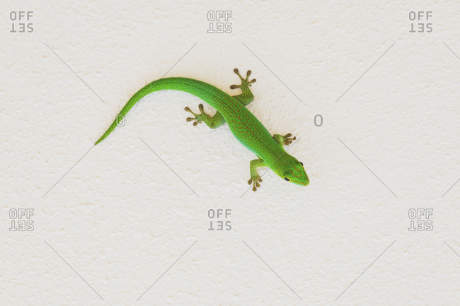 Green gecko on wall