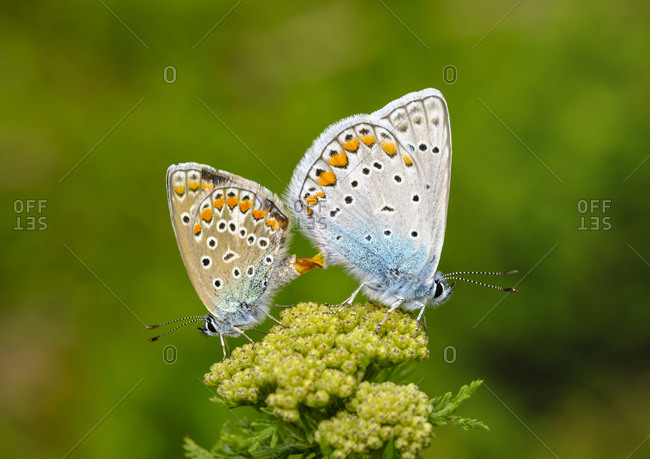 Albania- Valbona National Park- common blue butterflies copulating