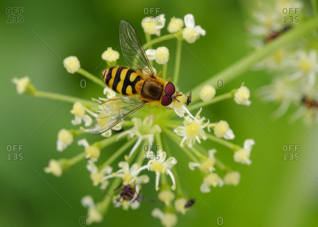 Albania- Common banded hoverfly- Syrphus ribesii- on flower