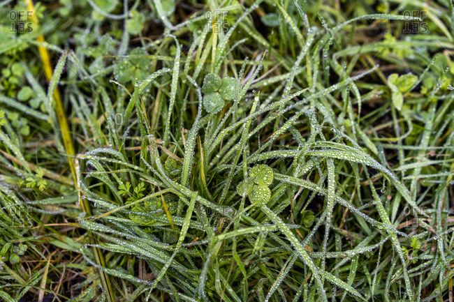 Close up of wet grass and clovers in forest