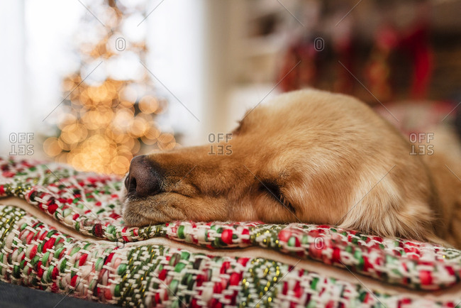 Young dog laying on couch in a room with a Christmas tree