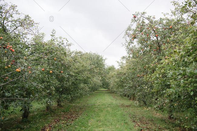 English apple orchard