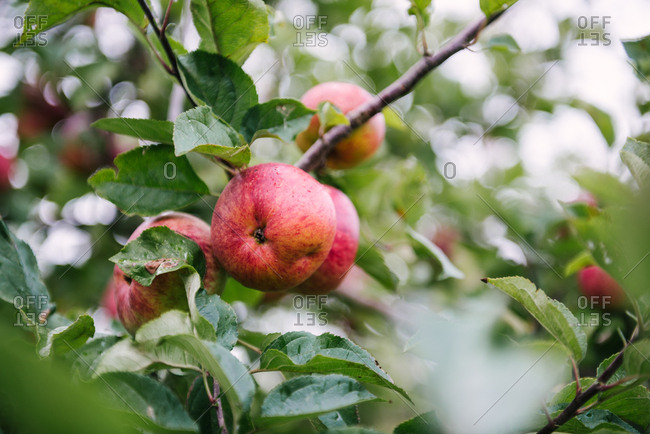 Close-up of apple in an English orchard