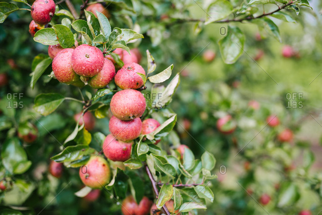 Detail of dewy apples in an English apple orchard