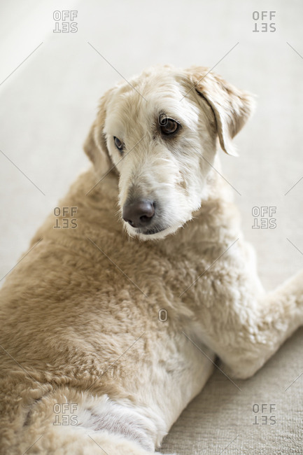 Portrait of a dog with turned head and looking over shoulder