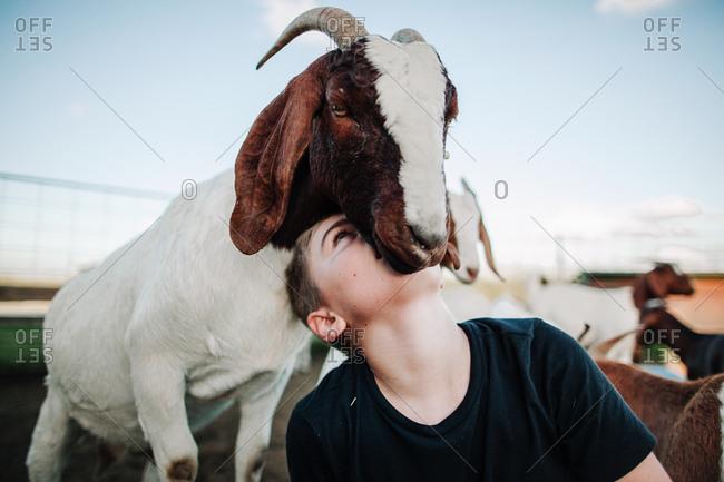 A boy nuzzling a goat