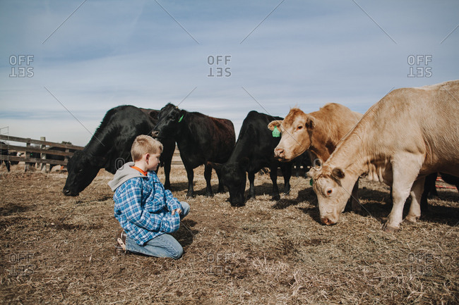 A boy sitting near cows