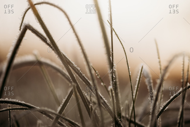 Frost over tall blades of grass