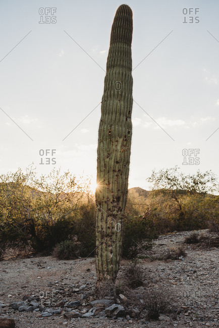 Tall cactus in the desert