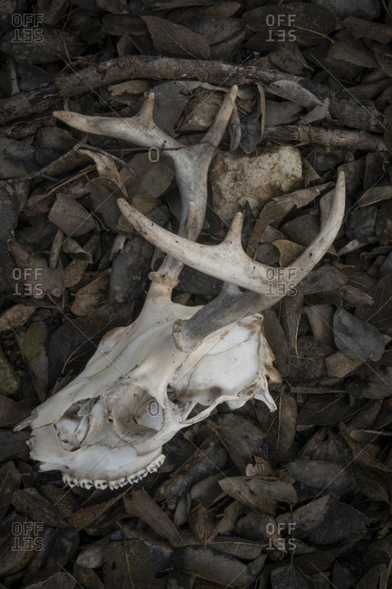 Deer antler and skull in leaves