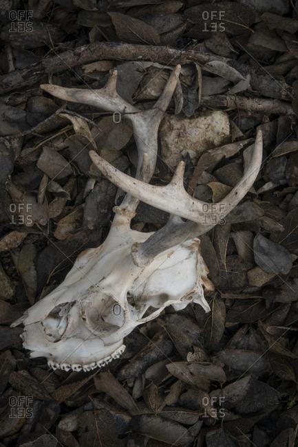 Deer antler and skull in leaves