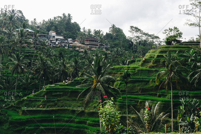 Rice terraces and palm trees in lush tropical countryside in Bali