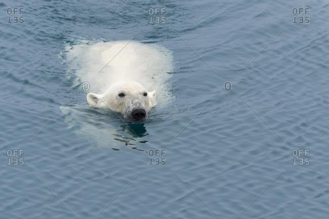 Polar Bear (Ursus maritimus) swimming, Svalbard Archipelago, Arctic, Norway, Europe