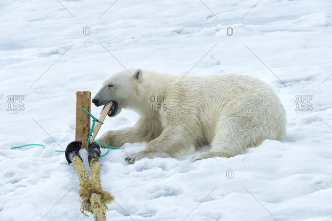 Polar Bear (Ursus maritimus) inspecting and chewing on the pole of an expedition ship, Svalbard Archipelago, Arctic, Norway, Europe