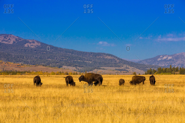 Buffalo roaming free in Jackson, Wyoming, United States of America, North America