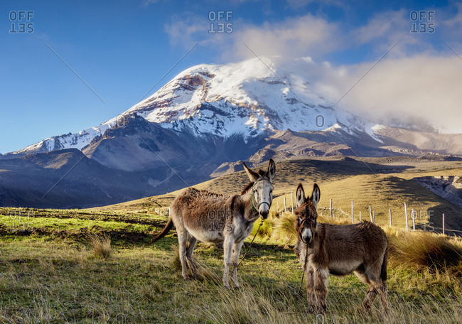 Donkeys and Chimborazo Volcano, Chimborazo Province, Ecuador, South America
