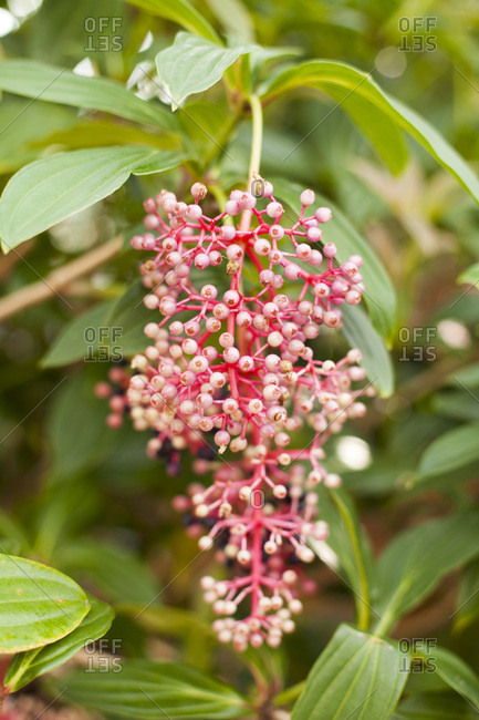 Cluster of hanging berries on a tree