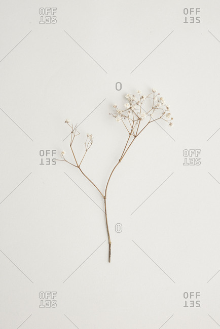 Specimen of dried white wildflowers