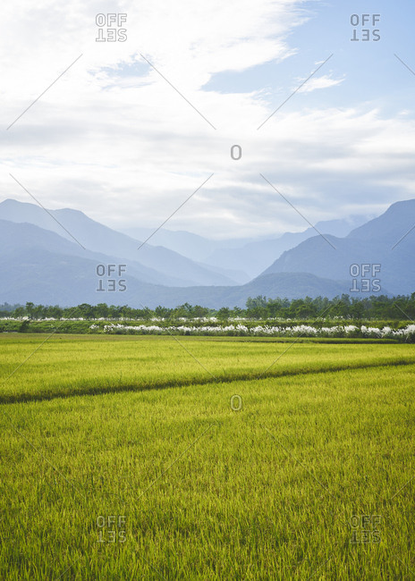 Rice fields with mountains in the background and bright morning light