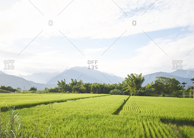 Farmer in rice fields with mountains in the background and bright morning light