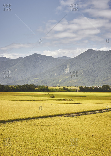 Rice fields with mountains in the background under bright morning light