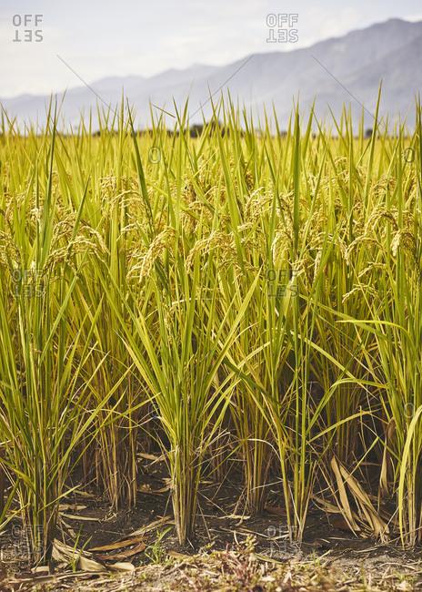 Rice fields under bright morning light