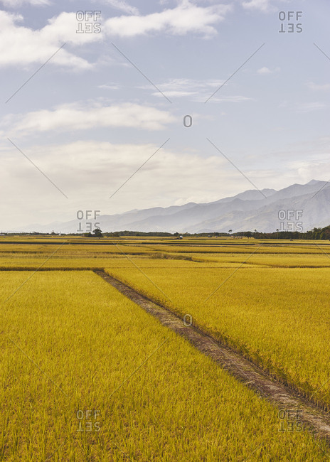Rice fields with mountains in the background and cloudy sky