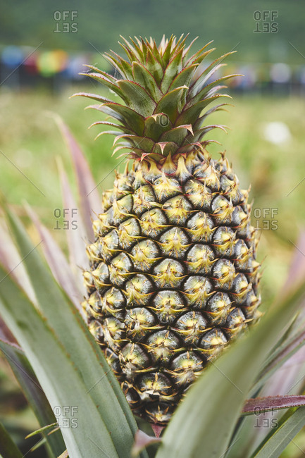 A red pineapple fruit atop its plant