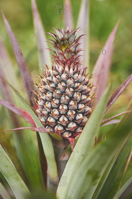A red pineapple fruit growing atop its plant