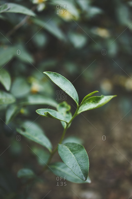 Close up of tea leaves in Taiwan
