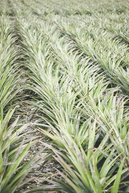 Pineapple plants growing in a big field
