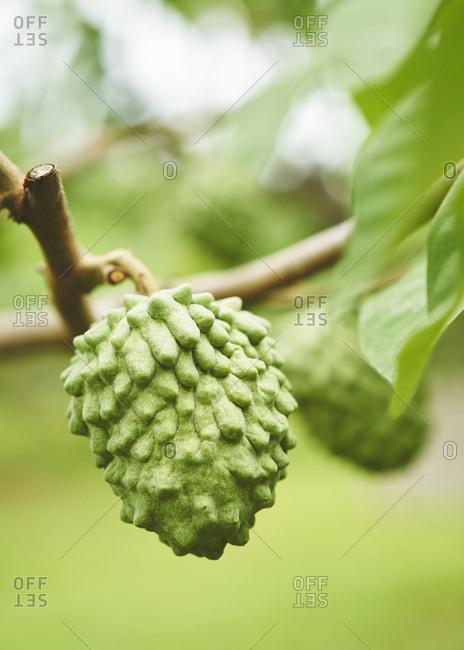 A custard apple or Buddha's head fruit growing on a tree