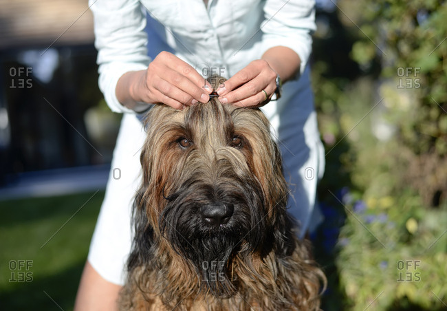 Woman's hands fixing hair clip on dog's head
