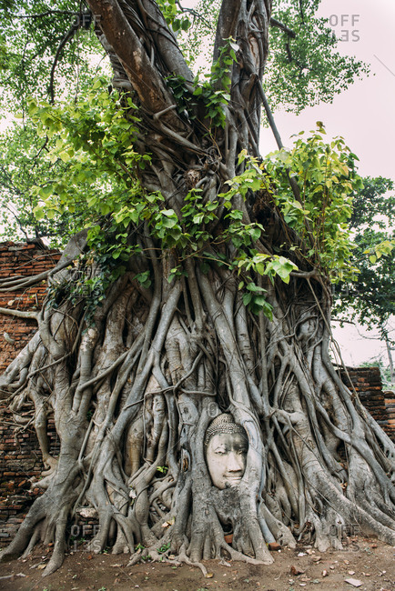 Thailand- Ayutthaya- Buddha head in between tree roots at Wat Mahathat