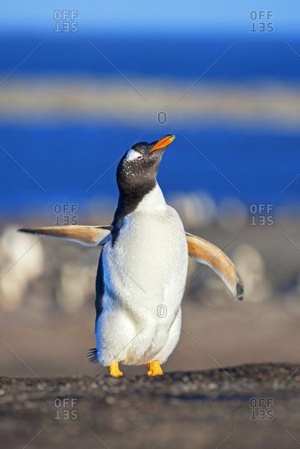 Gentoo penguin performing ballet dance, Sea Lion Island, Falkland Islands