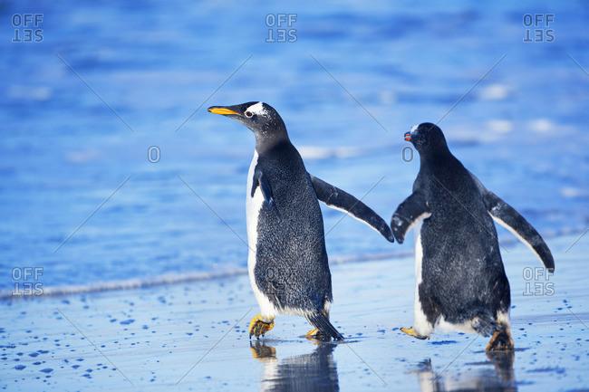Gentoo penguins walking together, Sea Lion Island, Falkland Islands