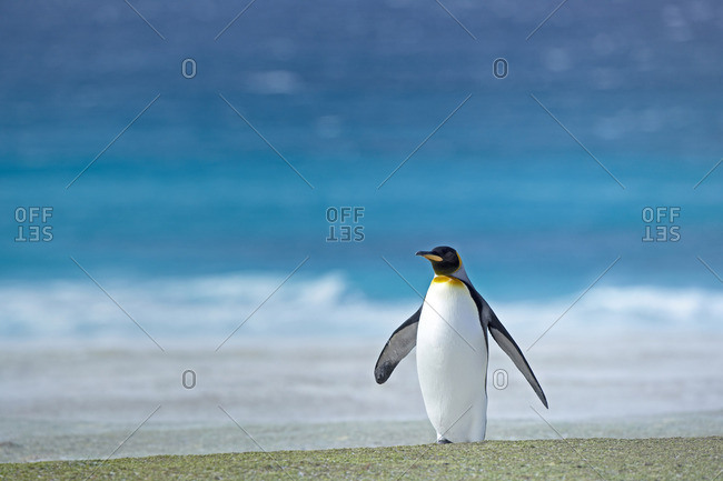 King penguin (Aptenodytes patagonicus) standing alone, East Falkland, Falkland Islands