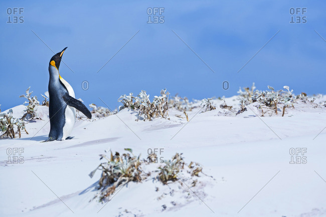 King penguin (Aptenodytes patagonicus), East Falkland, Falkland Islands