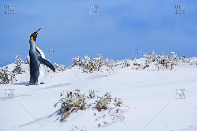 King penguin (Aptenodytes patagonicus), East Falkland, Falkland Islands
