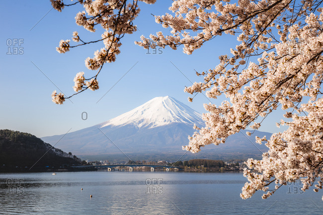 Mount Fuji in springtime with cherry tree in full bloom, Fuji Five Lakes, Japan