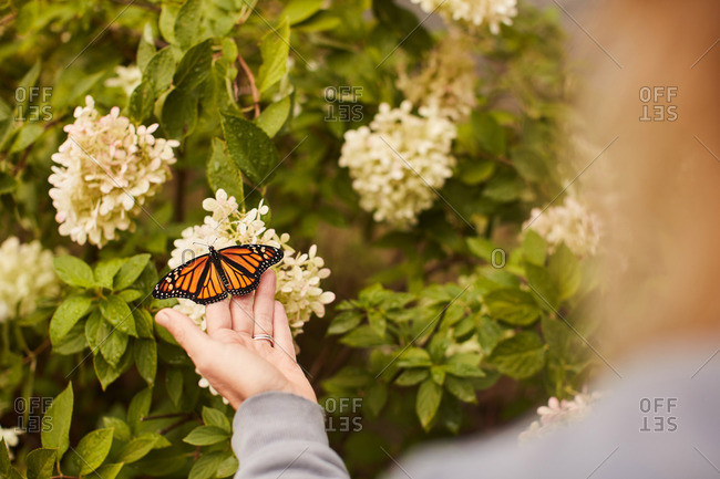 Person touching a monarch butterfly on a flower